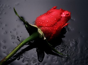 http://wondrouspics.com/wp-content/uploads/2011/11/Red_Rose_flowers.jpg